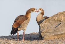 Juvenile Egyptian Geese Next T...