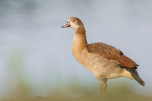 Juvenile Egyptian Goose Next T...
