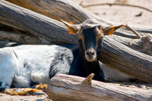 Farming Animal Goat Isolated Between Wood