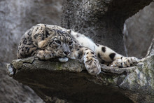 Snow Leopard Lying On A Rock
