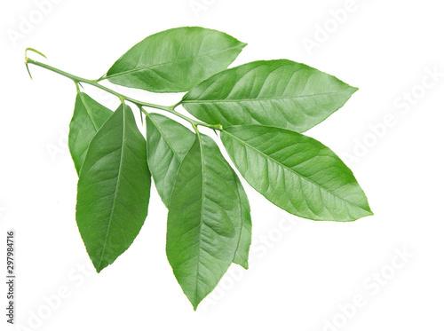 Obraz green lemon leaves on a white background - fototapety do salonu