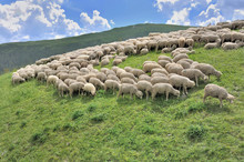 Flock Of Sheep Grazing In Alpi...