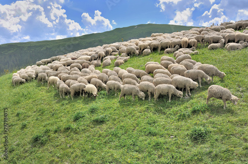 Fotografia, Obraz flock of sheep grazing in alpine mountain