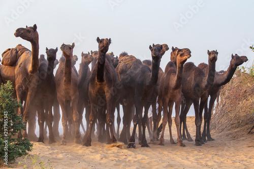 Foto Large herd of camels in desert Thar during the annual Pushkar Camel Fair near ho