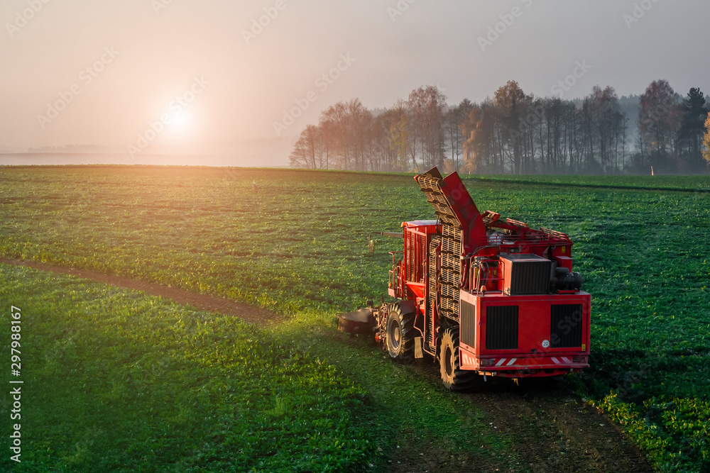 Fototapety, obrazy: Harvesting beet harvester in the field early in the morning