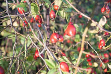 Rose Hips On Branches