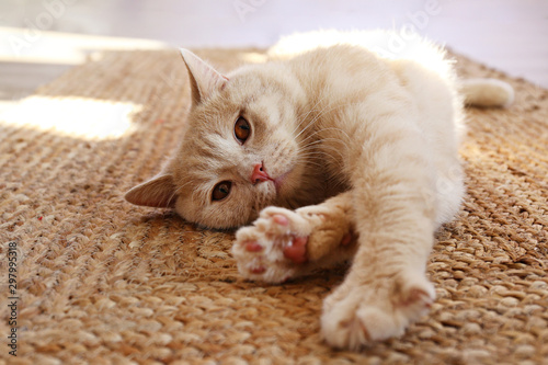 Obraz na płótnie Cute red scottish fold cat with orange eyes lying on grey textile sofa at home