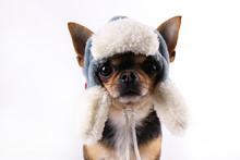 Studio Shot Of Mini Chihuahua ...