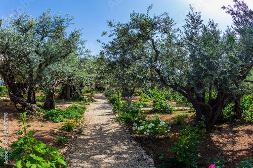 Fotomural The ancient Garden of Gethsemane