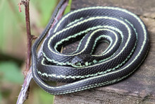 A Common Garter Snake Coiled U...