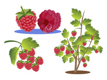 Raspberries Set. Branch, Bush ...