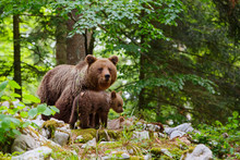 Brown Bear - Close Encounter W...