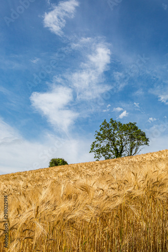 Slika na platnu Golden wheat fields in Sussex on a sunny summers day