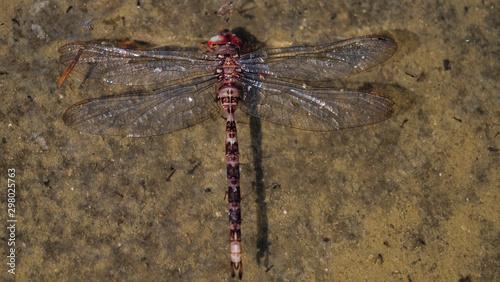 Photo libélula Muerta flotando en el agua.