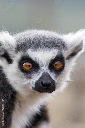 Cross-eyed face. Funny animal image of lemur looking cross-eyed.