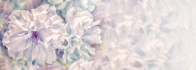Panel Szklany Abstrakcja Beautiful sakura flower cherry blossom panorama background. Soft focus. Greeting gift card template. Pastel vintage toned image. Nature panoramic abstract. Copy space. Shallow depth
