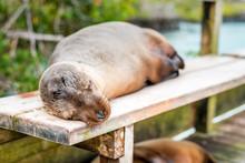 A Lazy Sea Lion Sleeps On A Pa...
