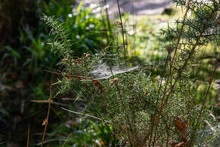 Focus On An Intricate Spider's Web On A Gorse Bush