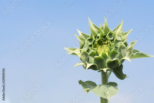 Fotografie, Obraz  The bud of a sunflower on background of blue sky