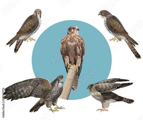 Photo Set of vector falcons, vector in realistic style