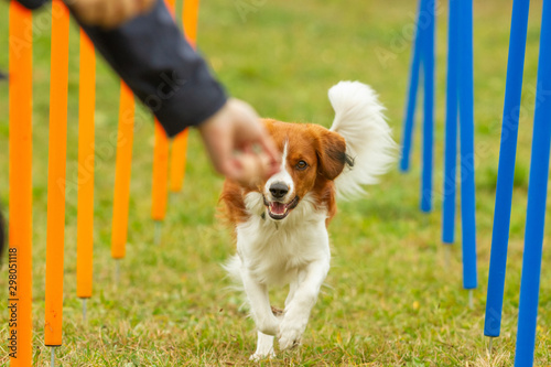 Fotomural A young australian shepherd dog learns to run the slalom and getting a reward from the owners hand in agility training