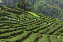 The Layered Tea Garden Along The Shoulder Of The Valley Surrounded By Green Nature.