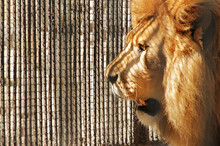 Lion Close-up Profile On The Background Of Zoo Cells