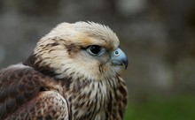 Details And Portraits Of Birds Of Prey In Nature Or Intended To Hunt
