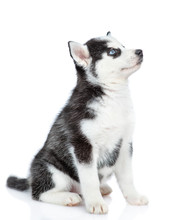 Siberian Husky Puppy Sitting I...