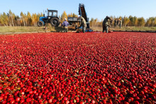 Cranberries Floating On The Wa...