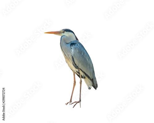 Photo Grey heron, Ardea cinerea, a long-legged predatory Isolated