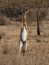 Gerenuk, Litocranius Walleri