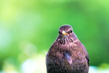Female Blackbird Portrait