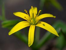 Yellow Star Of Bethlehem In Summer