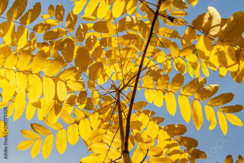 Vászonkép Beautiful young small branchy Jaspidea tree with gold and yellow and orange leav