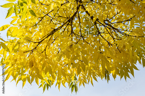 Beautiful young small branchy Jaspidea tree with gold and yellow and orange leav Tapéta, Fotótapéta
