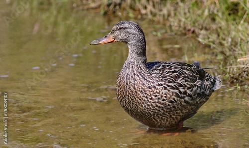 Female Mallard duck, Anas platyrhynchos, or American black duck (Anas rubripes) Canvas Print