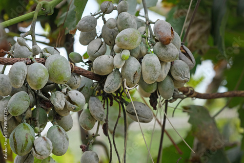Fototapeta Bunches of grapes affected by powdery mildew or oidium with yellow leaves