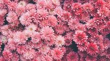 Chrysanthemum Flowers  As A Be...