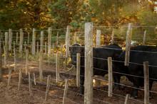 Black Calf In Corral On Farm