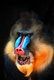 Fototapeta Zwierzęta - portrait of mandrill