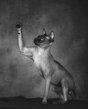 Black And White Shot Of Pedigreed Bald Cat Sphinx Sitting Lifting Paw And Looking Up