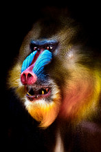Portrait Of A Mandrill Showing His Teeth
