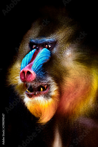 portrait of a mandrill showing his teeth Canvas Print