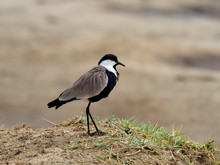 Spur-winged Lapwing, Vanellus ...