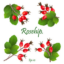 Set Of Red Rosehip Berries On Branches With Green Leaves. Medicinal Plants. Natural Christmas Decoration. Eps 10