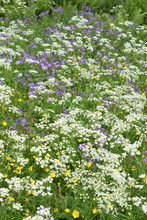 Large Field Of Beefriendly Wild Flowers In Different Colors