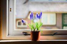 Beautiful Blue Grape Hyacinth Flowers In Pot On Windowsill In Spring