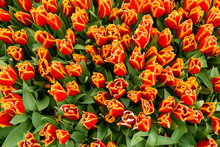 Fresh Red Tulip With Yellow Edge, Beautiful Flower Bouquet In Spring.