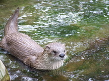 Otter Swims
